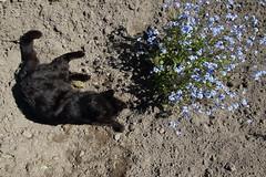 Black cat & forget-me-nots (dididumm) Tags: visitor black cat relaxing enjoying spring sunshine garden forgetmenot myosotissylvatica blue flower blau blume vergissmeinnicht garten sonnenschein frühling relaxen entspannen geniesen katze schwarz besucher