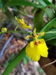 Trichocentrum cebolleta (Jacq.) M.W.Chase & N.H.Williams Orchidaceae Oncidiinae-กล้วยไม้อิงอาศัย (SierraSunrise) Tags: esarn flowers isaan nongkhai oncidiinae orchidaceae orchids phonphisai plants redspots thailand yellow