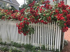 Roses in Provincetown (Foxy Belle) Tags: cape cod vacation provincetown ma fence roses red trailing climbing summer flowers