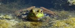 1338e in the shallow (jjjj56cp) Tags: reptile closeup macro details eyegleam pond algae fullface portrait cooling oakhill summer july goldeneye p1000 coolpixp1000 nikoncoolpixp1000 jennypansing cincinnati oh ohio cincinnatiohio frog wildllife inthewild