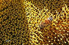 Il nettare degli Dei si raccoglie dalle stelle - The nectar of the Gods is gathered from the stars (Jambo Jambo) Tags: ape bee girasoli sunflowers macro miele honey maremma maremmatoscana toscana tuscany italia italy sonydscrx10m4 jambojambo fiore flower