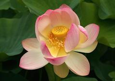 Lotus Flower (Wolfgang Bazer) Tags: indische lotosblume nelumbo nucifera indian lotus flower blüte botanischer garten wien vienna österreich austria