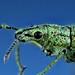 Weevil, Compsus sp., Curculionidae