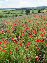 Poppy field (EeckhaoudtS) Tags: natuurpunt birdingbreaks poppy klaproos flower field