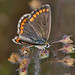 Southern Brown Argus - Aricia