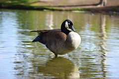 Canadian Goose 2 EDIT (_Durian_) Tags: goose canadiangeese canadiangoose waterfowl bird aquatic nature outdoor color black white brown pond