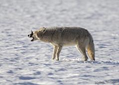 Dontcha hate it when... (Hank Halsey) Tags: hhdx7656cr2 coyote vole yellowstonenationalpark hankhalseyphotography