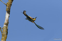 Guêpier d'Europe (jeanot94) Tags: europeanbeeeater bienenfresser bijeneter beeeater abejarucoeuropeo abelharucocomum gruccionecomune