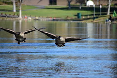 Canadian Geese (_Durian_) Tags: goose canadiangeese canadiangoose waterfowl bird aquatic nature outdoor color black white brown pond