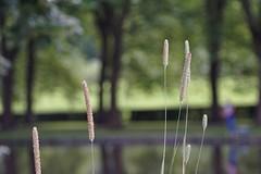 Common reed ?      Schneider Kreuznach Xenon 1:2 / 50 (情事針寸II) Tags: oldlens bokeh nature commonreed schneiderkreuznachxenon1250