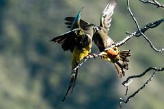 Burrowing Parakeets (Cyanoliseus patagonus) (Kremlken) Tags: cyanoliseuspatagonus parrots parakeet endangered birds birding birdwatching bird nature chilean andes southamerica nikon500