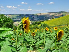 sunflower (simona300) Tags: sunflower country countryside hills beauty