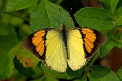 Ixias pyrene - the Yellow Orange Tip (male) (BugsAlive) Tags: butterfly mariposa papillon farfalla 蝴蝶 dagvlinder 自然 schmetterling бабочка conbướm ผีเสื้อ animal outdoor insects insect lepidoptera macro nature pieridae ixiaspyrene yelloworangetip pierinae wildlife chiangdaons เชียงดาว chiangmai ผีเสื้อในประเทศไทย liveinsects thailand thailandbutterflies nikon105mm bugsalive ผีเสื้อปลายปีกส้มเล็ก