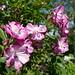 Au jardin, roses