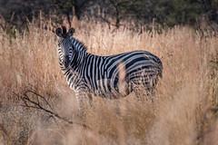 Zibra, Pilanesberg, South Africa (http://www.guidogavazzi.it/englishome.html) Tags: wild wildlife zibra nature safari savannah africa south travel animal