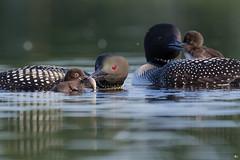''Dans l'intimité!'' Plongeon huard-common loon (pascaleforest) Tags: kayak canada quebec faune wildlife wuld nature nikon famille animal bird oiseau