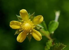 Mock Strawberry 973 (jmunt) Tags: wildflower flower mockstrawberry duchesneaindica