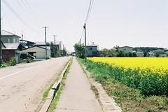 A Nanohana farm (しまむー) Tags: minolta α9000 af 50mm f17 kodak gold 200 横浜 菜の花 蕪島神社 列車 train yokohama kabushima