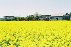 Yellow itself (しまむー) Tags: minolta α9000 af 50mm f17 kodak gold 200 横浜 菜の花 蕪島神社 列車 train yokohama kabushima