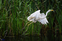 Great White Egret. (spw6156 - Over 8,403,100 Views) Tags: great white egret copyright steve waterhouse