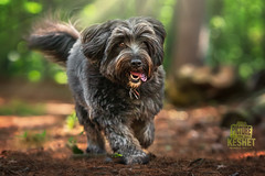 Picture of the Day (Keshet Kennels & Rescue) Tags: adoption dog dogs canine ottawa ontario canada keshet large breed animal animals kennel rescue pet pets field nature photography mini minature labradoodle smile walk forest trees dirt road trail path black grey sunbeams