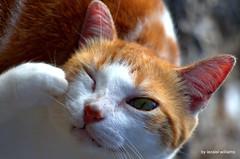 Cat - Something in my eye  by iezalel williams - IMG_1747-001 - Canon EOS 700D (iezalel7williams) Tags: canoneos700d closeup cat funny photo beautiful photography cute light love thankyou pet animal orange white outdoor somethinginmyeye