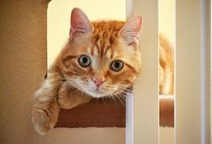 Spritz (En memoria de Zarpazos, mi valiente y mimoso tigre) Tags: cat kitten ginger orange tabby greeneyes posing gato gatito anaranjado naranja atigrado ojosverdes posando chat micio gatto