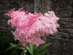 Candy Floss (bart7jw) Tags: snowshill cotton candy pink flower flowers plant plants lumix g g80 g85