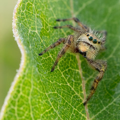 a tiny green-eyed monster :-) (marianna armata) Tags: jumping spider tiny macro arachnid animal fauna nature cute hairy canadian ontario mariannaarmata