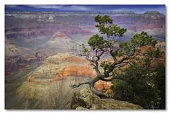 Grand Canyon sentinel (jrunions1) Tags: grandcanyon arizona pine outside national tree landscape