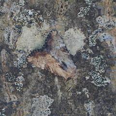 Slender Brindle / Noctuelle Mignonne (Dr Wood's Wildlife Photos) Tags: slenderbrindle apameascolopacina noctuellemignonne 2335 noctuidae buchenwaldgraseule sneppestængelugle bosgrasuil hentojuuriyökkönen praktengfly gulhalsatängsfly