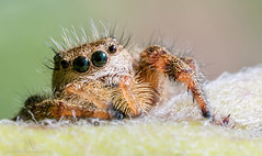 adorable furry jumping spiders! (marianna armata) Tags: jumping spider tiny macro arachnid animal fauna nature cute hairy canadian ontario mariannaarmata outdoor milkweed