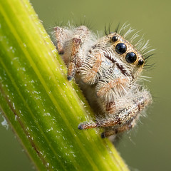 "beware, those furry ""arms"" hide huge sharp fangs! (marianna armata) Tags: jumping spider tiny macro arachnid animal fauna nature cute hairy canadian ontario mariannaarmata"