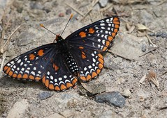 B. Checkerspot (edtoronto) Tags: baltimore checkerspot butterfly lepidoptera orangeandblack orange black nature euphydryas phaeton