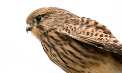 Common Kestrel - Turmfalke (rengawfalo) Tags: commonkestrel falcotinnunculus bird birder birding wildlife outdoor vogel vögel natur nature tiere
