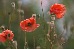 Evening (Magreen2) Tags: poppys meadow plant flower bokeh trioplan100 oldlens vintage red green summer colours light licht farben mohn blume wiese pflanze