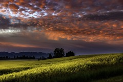 Cotton-Candy on Mustard With a Dollop of Fog (steve rubin-writer) Tags: sun sunrise sunset montana flower wildflower clouds amazing color flickr flicker steve rubin writer