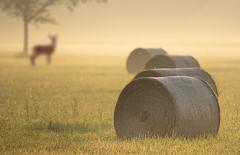 Time of hay harvest (hardy-gjK) Tags: landscape landschaft heu ernte harvest hay reh deer morning morgen light hardy nikon