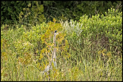 Heron Hiding (D J England) Tags: bird brucepeninsula dje djengland canonpowershotg3x ontario animal greatblueheron tobermory southernontario gbh haybay thebruce djenglandphotography douglasjengland