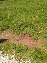 IMG_20190710_111830 (Puntin1969) Tags: telefonino vacanze luglio trentino montagna altavaldifiemme fiemme animali fiori