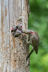Pics flamboyants / Northern flickers (2/2) (Sammyboy77) Tags: picflamboyant northernflicker feeding nest