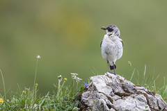Steinschmätzer (wsprecher) Tags: steinschmätzer oenanthe vögel wildlife singvögel gebirge alpen