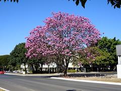 Ipê roxo (Alexandre Marino) Tags: ipê ipêroxo ipês árvores trees flores flowers