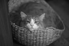 coco (Typ250) Tags: norwegianforestcat cat monochrome mmonochrom leicammonochrom leicam leica summarex summarex85cm summarex85mm summarexf85cm115
