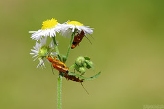 Peep Show (Vie Lipowski) Tags: commomredsoldierbeetle bloodsucker hogweedbonkingbeetle rhagonychafulva daisy insect bug beetle orgy sexparty mating flower weed wildflower wildlife nature macro