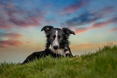Frisbee (The Papa'razzi of dogs) Tags: animal bordercollie frisbee grass outdoor colors dog hund nature pet sky