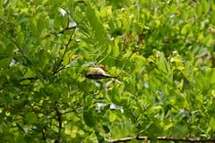 Mesange (Totsubaka) Tags: animal bird nature tit