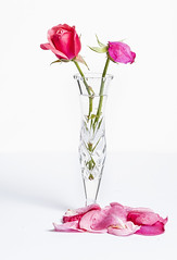 A Matter of Life and Death (Geoff France) Tags: flower vase rose petal thorn flora glass water stem