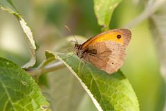 Papillon (clamar18) Tags: papillon mérysurcher jardin butterffly marron insecte vierzon france