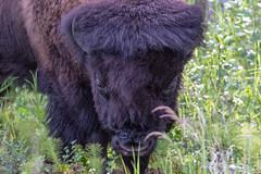 My Pal (edmason88) Tags: bison young elkislandnationalpark behindafence tamron150600 alberta canada